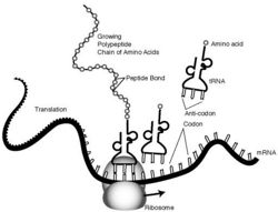 which process copies instructions from dna into mrna
