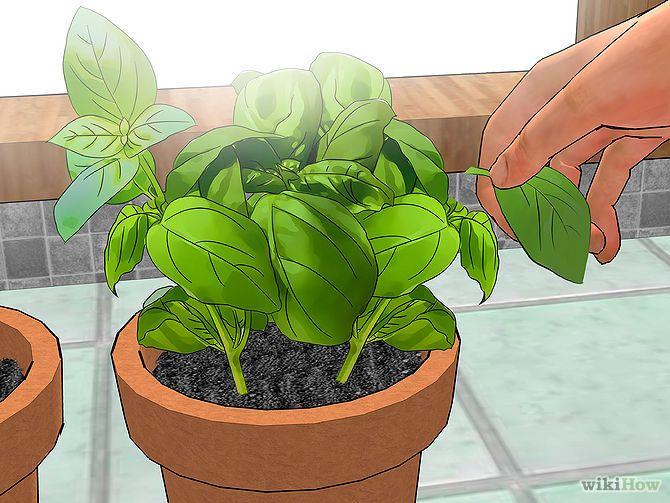 basil seeds planting instructions
